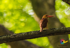Rubby King Fisher 01-1 (richardbright81) Tags: wild life rubby kingfisher flycatcher
