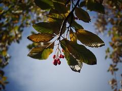 Autumn Berries (Mel_is_Moving) Tags: bradford epl6 olympus pen sky trees outside outdoor uk leaves autumn berries westyorkshire