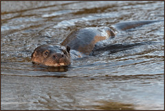 Otter (image 1 of 3) (Full Moon Images) Tags: wildlife nature animal mammal otter