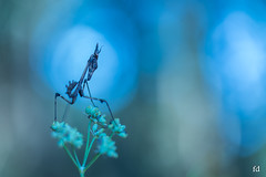 Ambiance surnaturelle (flo73400) Tags: macro proxi surnatural surnaturelle diablotin empuse insecte nature