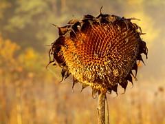 AN OTHER VIEW FROM GOLDEN OKTOBER _A218946 (hlh 1960) Tags: autumn herbst golden farben colour sunflower sonnenblume licht light soft macro laub leaves nature natur outdoor wald forrest trees bäume wiese feld