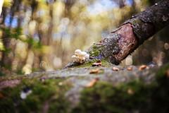 In the wood (Un ragazzo chiamato Bi) Tags: wood bosco faggeta tronco trunk funghi mushrooms autumn autunno foglie leafs bokeh sfocato sony a7 zuiko om 50mm f12