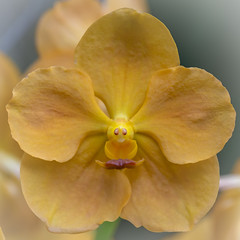 Yellow Orchid Flower (billcoo) Tags: 6d2 2 6dii plant bokeh garden