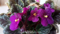 African Violet Modern hybrid (Magenta) flowers close up in kitchen 24th October 2018 (D@viD_2.011) Tags: african violet modern hybrid magenta flowers close up kitchen 24th october 2018