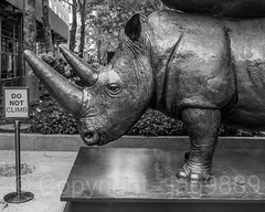 "Detail of ""The Last Three"" Monumental Sculpture (2018) by Gillie and Mark, Metro Tech Center, Downtown Brooklyn, New York City (jag9889) Tags: 2018 20181014 animal art artwork bw blackandwhite brooklyn detail downtownbrooklyn extinct kingscounty kunst metrotechcenter monochrome monumental monumentalsculpture ny nyc newyork newyorkcity outdoor plastik rhino rhinoceros rhinocerotidae sculpture skulptur statue usa unitedstates unitedstatesofamerica endangered jag9889"