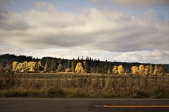 sun on fall trees (wolf8_us) Tags: travelswashingtonstate fall trees sunsets olympia tumwater