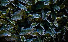 frosty (auntneecey) Tags: leaves frost dark 365the2018edition 3652018 day289365 16oct18