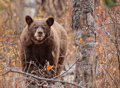 Grin & Bear it!... 😳😜 (DTT67) Tags: blackbear bear fall autumn grandtetons wyoming 5dmkiv canon mammal animal nature wildlife