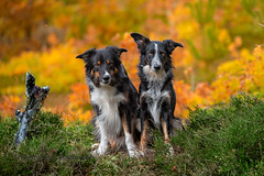 Yatzy & Frisbee (Flemming Andersen) Tags: autumn pet nature dog bordercollie yatzy outdoor frisbee animal bedsted northdenmarkregion denmark dk