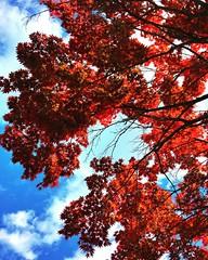 Autumn Sky (n.e.janey) Tags: red redmaple bluesky redblue autumn fall latesummer earlyfall watercolor