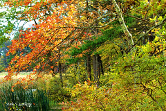 Autumn Colors 2018 - 30 (Stan S. Gallery) Tags: autumn fall fallcolors foliage october trees tree leaves colors brush pond bog water waterscape landscape birchtree birch wet canonrebel scenic forest woods