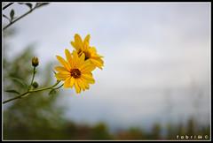 "Fiori-autunno-01-sviluppo-02-colore (Fabri G. ""fabri66"") Tags: nikond90 d90 natura nature naturephotography naturephotos fgfabri66images darktable gimp gmic macro macrophotography fiori flowers flower flowerphotography 35mm 35mmf18"