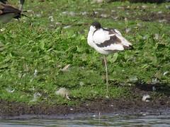 Avocet (_jons_) Tags: birding birds birdingphotography birdwatching birdphotography wildlife wildlifephotography nature naturephotography luntmeadows