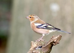 Chaffinch (Juv Male) - Taken at Barnwell Country Park, Oundle, Northants. UK (Ian J Hicks) Tags: