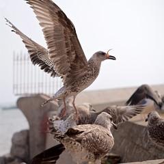 Seagulls 12 (pan_orama) Tags: marokko maroc morocco essaouira beach harbour seagulls fish sun color travel