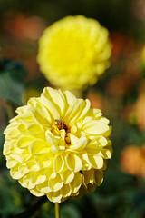 Dahlie - Gera (birk.noack) Tags: deutschlandthüringengeradaliengartenblauerhimmeldahliedahliengelbedahliegelbedahlienblumeblumendahliagermanythuringiablueskydahliadahliayellowdahliayellowdahliaflowerflowers deutschland thüringen gera daliengarten blauerhimmel dahlie dahlien gelbedahlie gelbedahlien blume blumen dahlia germany thuringia bluesky yellowdahlia flower flowers dahliagarden