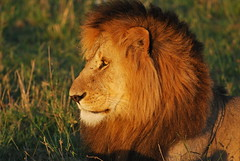 Magnificent Male Lion in Kenya (CRAddison) Tags: predator apex beast king kingofthebeasts lion male golden mane magnificent safari kenya maasai masai mara bush plains african africa grass eyes bushy cat wild wildlife bigcat big five