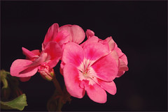 DSC_4495 (FMAG) Tags: 201809 dzialka kwiatki macro