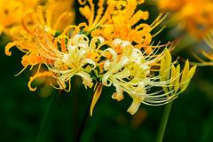 White Spider Lily (Lycoris ×albiflora) : シロバナマンジュシャゲ (白花曼珠沙華) (Dakiny) Tags: 2018 autumn september kanagawa yokohama kohoku nippa saihoji temple garden outdoor nature creature plant flower lycoris spiderlily clusteramaryllis redspiderlily lycorisaurea macro bokeh nikon d750 sigma apo 70200mm f28 ex hsm apo70200mmf28dexhsm sigmaapo70200mmf28dexhsm