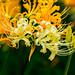 White Spider Lily (Lycoris ×albiflora) : シロバナマンジュシャゲ (白花曼珠沙華)