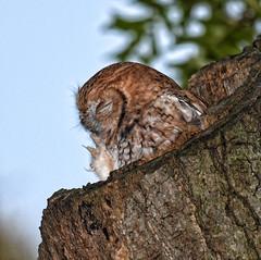 FGR_3170 (frodin78) Tags: easternscreechowl screech owl owls birds nature wildlife raptors