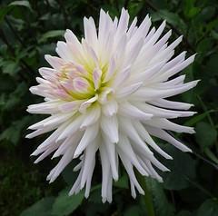 Trelyn Kiwi (Kniphofia) Tags: trelynkiwi hallsofheddon cactus