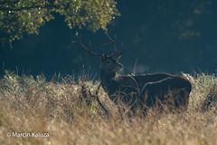 Red Deer (Marcin Kaluza) Tags: tamron150600g2 reddeer greatwindsorpark nikond500 animal mammal
