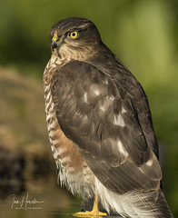 Sparrow Hawk (Ian howells wildlife photography) Tags: ianhowells ianhowellswildlifephotography nature naturephotography nationalgeographic birdofprey bird canon canonuk wildlife wildlifephotography wales wild wildbird sparrowhawk