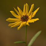 Sunflower - Topinambur thumbnail