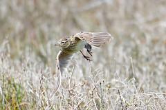 Eurasian Skylark taking flight (DanD_NZ) Tags: bif nikond500 nikkor200500mmf56 newzealand mirandawetlands birds eurasianskylark