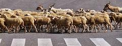 ovi road (wuploteg1) Tags: rebaño boltaña boltana road sobrarbe pirineos pirineo pyrenees huesca altoaragón altoaragon aragón aragon spain ngc