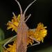Euphorbia Bug - Chariesterus antennator, Meadowood Farm SRMA, Mason Neck, Virginia