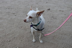 Nova (Webfoot5) Tags: dog dogs dogsonwalks dogzonwalkz chihuahua