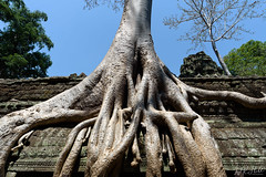 Roots (D. R. Hill Photography) Tags: cambodia siemreap angkor angkorwat wat temple taprohm taprohmtemple asia southeastasia khmer history historical architecture tree roots nature bluesky travel nikon nikond750 d750 nikon20mmf18g 20mm primelens fixedfocallength wideangle