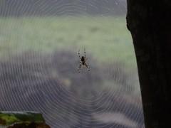 Riverside resident (Phil Gayton) Tags: spider web river dart totnes devon uk