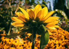 end of summer Sunflower (annapolis_rose) Tags: flowers sunflower ubc ubcgardens campus vancouver endofsummer