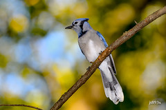 Blue Jay (jt893x) Tags: 150600mm bird bluejay cyanocittacristata d500 jay jt893x nikon nikond500 sigma sigma150600mmf563dgoshsms songbird thesunshinegroup coth alittlebeauty coth5 sunrays5 ngc