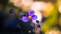 Herbstanemone (St1908) Tags: fuji fujifilm xt2 minolta mc tele rokkor 100mm 25 offenblende licht light pflanze flower herbstanemone anemone farben colors altglas vintage lens microvisions