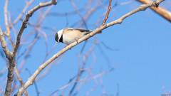 Mésange à tête noire - Black-capped chickadee, Canada - 8289 (rivai56) Tags: mésangeàtêtenoire blackcappedchickadee canada oiseau bird mésange dans un arbre en hiver avec beau ciel bleu
