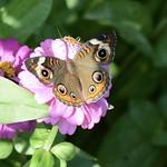 Buckeye butterfly on zinnia thumbnail