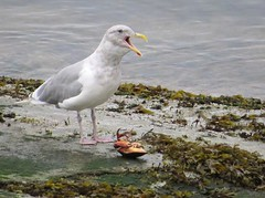 GullWCrab (Shelley Penner) Tags: birds vancouverisland gull glaucouswinged calling crab eating shoreline beach seaweed