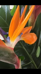 Bird of Paradise (janetfo747 ~ Dreaming of Africa) Tags: flower butterflies bright bloom blossom bud summer spring colorful color birdofparadise crane exotic