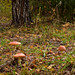 Fly agaric mushrooms (Amanita muscaria) in the autumn birch forest of the Kaluga region