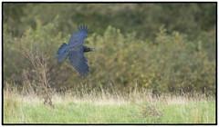 Raven (CliveDodd) Tags: raven brecon beacons