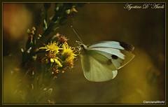 Farfalla bianca .. su fiori dorati d'Autunno - Ottobre-2018 (Agostino D'Ascoli) Tags: agostinodascoli cianciana sicilia farfalla fiori nature texture macro insetti autunno ottobre