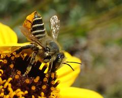 Leaf-cutter Bee (Megachile sp) (J.Thomas.Barnes) Tags: