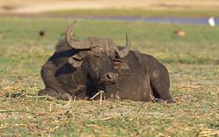 African buffalo 2 (nisudapi) Tags: buffalo capebuffalo africanmammal2018africawildlifebotswanaboatriversafarichobechobe rivernational park animal