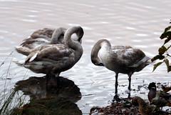 Swans (Carol AFGW) Tags: yarrowvalley chorley lancashire muteswan swans biglodge