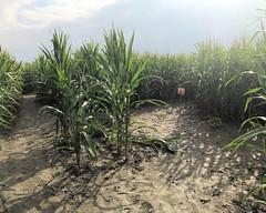 014 The White Course Corn Maze (saschmitz_earthlink_net) Tags: 2018 california temecula bighorsefeedandmercantile cornmaze orienteering laoc losangelesorienteeringclub corn
