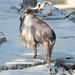 Los Angeles Zoo, male Markhor, Tajikistan (Capra falconeri) DSC_0457